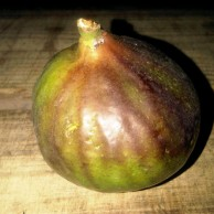 Large Figs Available